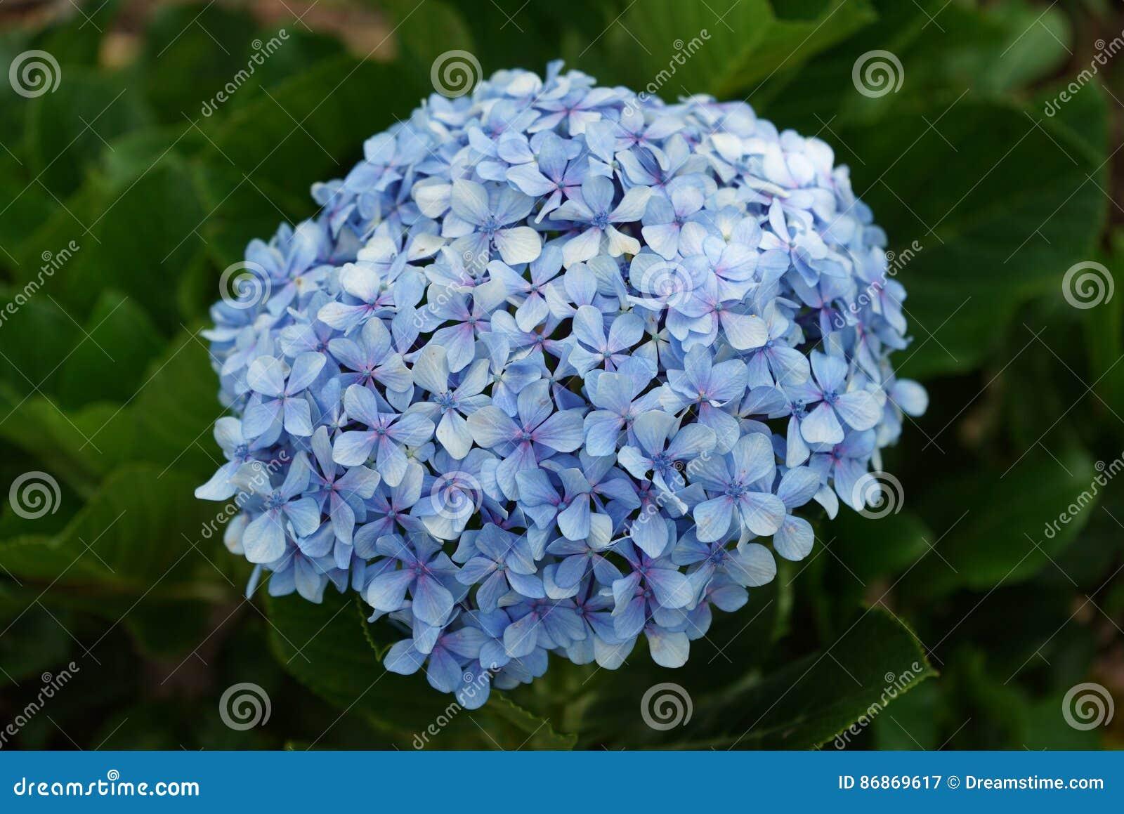Hortensia bleu de fleur Fin vers le haut