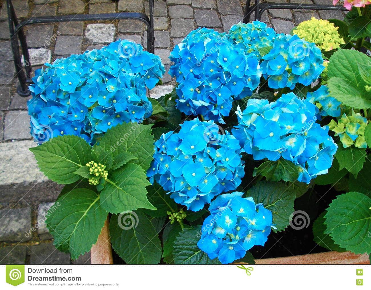 hortensia bleu vif dans le pot de fleur photo stock. Black Bedroom Furniture Sets. Home Design Ideas