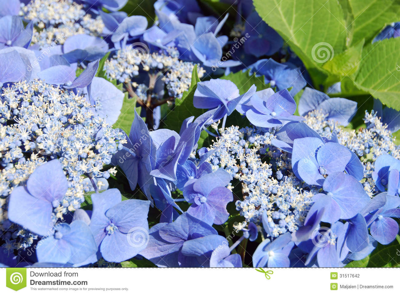 Hortensia Blue Stock Photo Image Of Color Flower Detail 31517642 - Color-hortensia