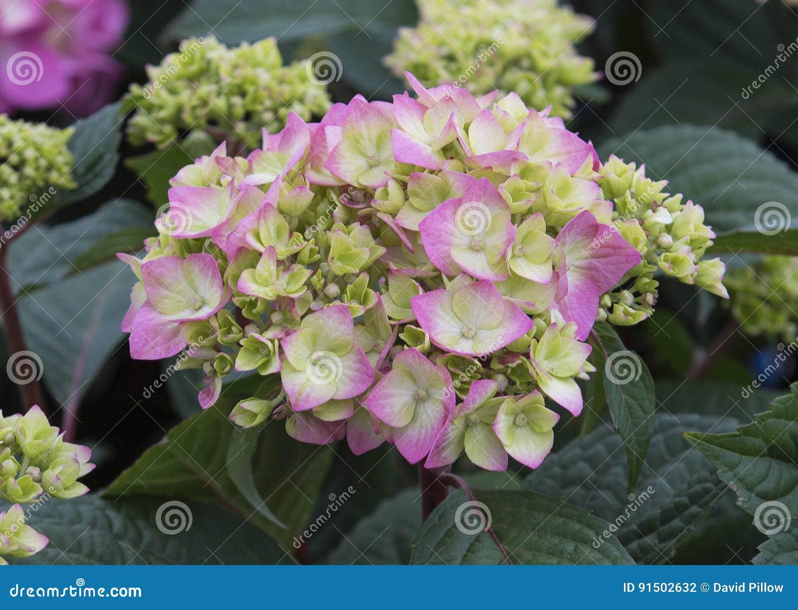 Hortensia de pistache