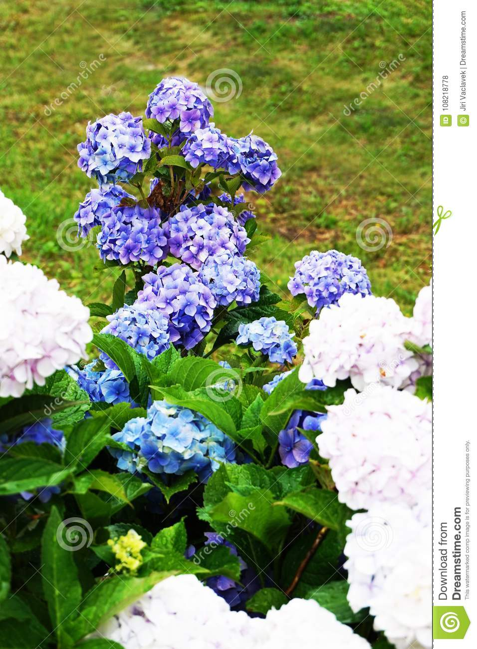 Hortensia Flowers Background Stock Photo Image Of Natural Floral - Color-hortensia