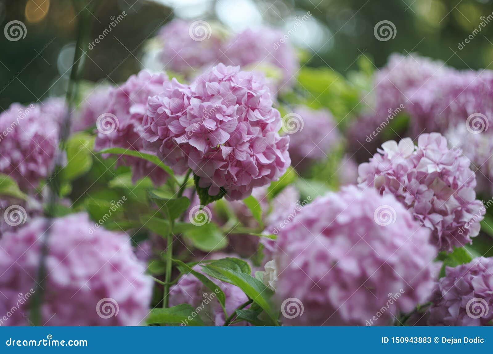 Hortensia kwiatu hortensji tło