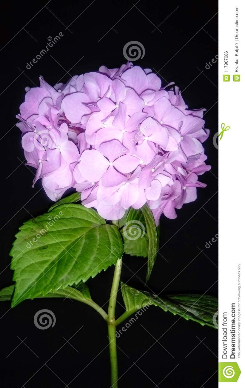 Hortensia loves a flower