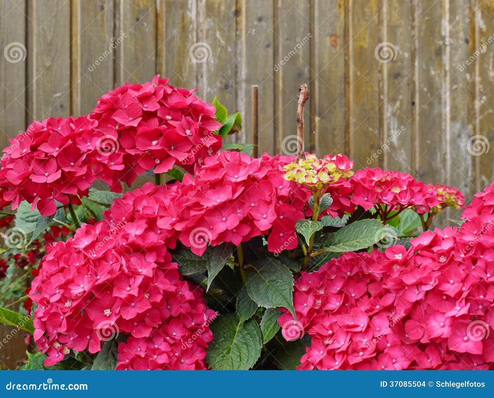 Download Hortensia Na Drewno ścianie Zdjęcie Stock - Obraz złożonej z hortensia, liść: 37085504