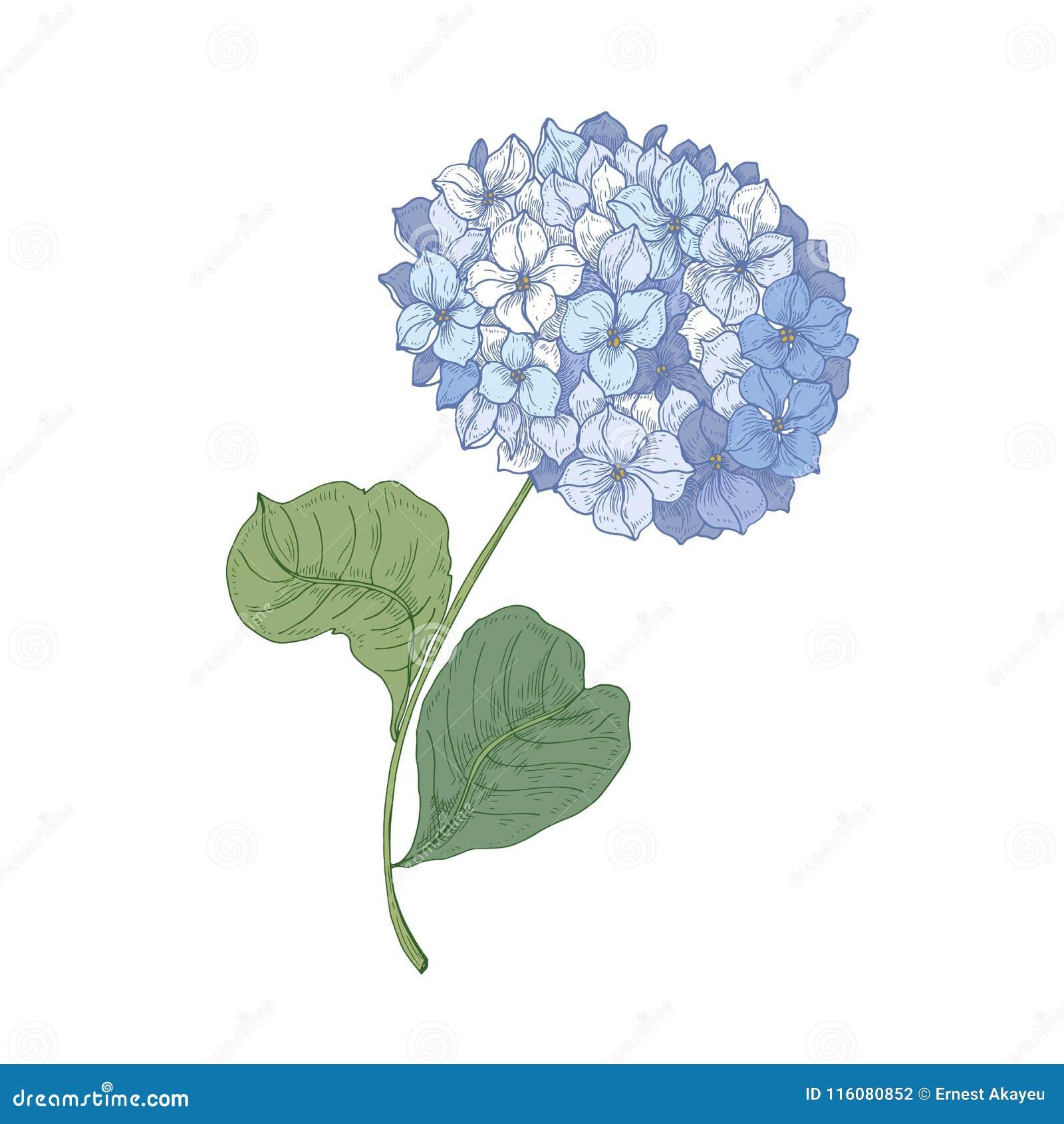 Hortensia Ou Fleur De Floraison De Hortensia D Isolement Sur Le Fond