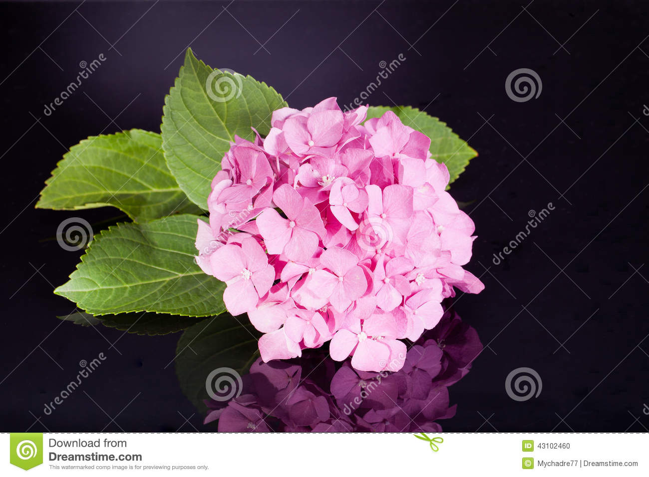 hortensia rose simple sur le fond noir photo stock