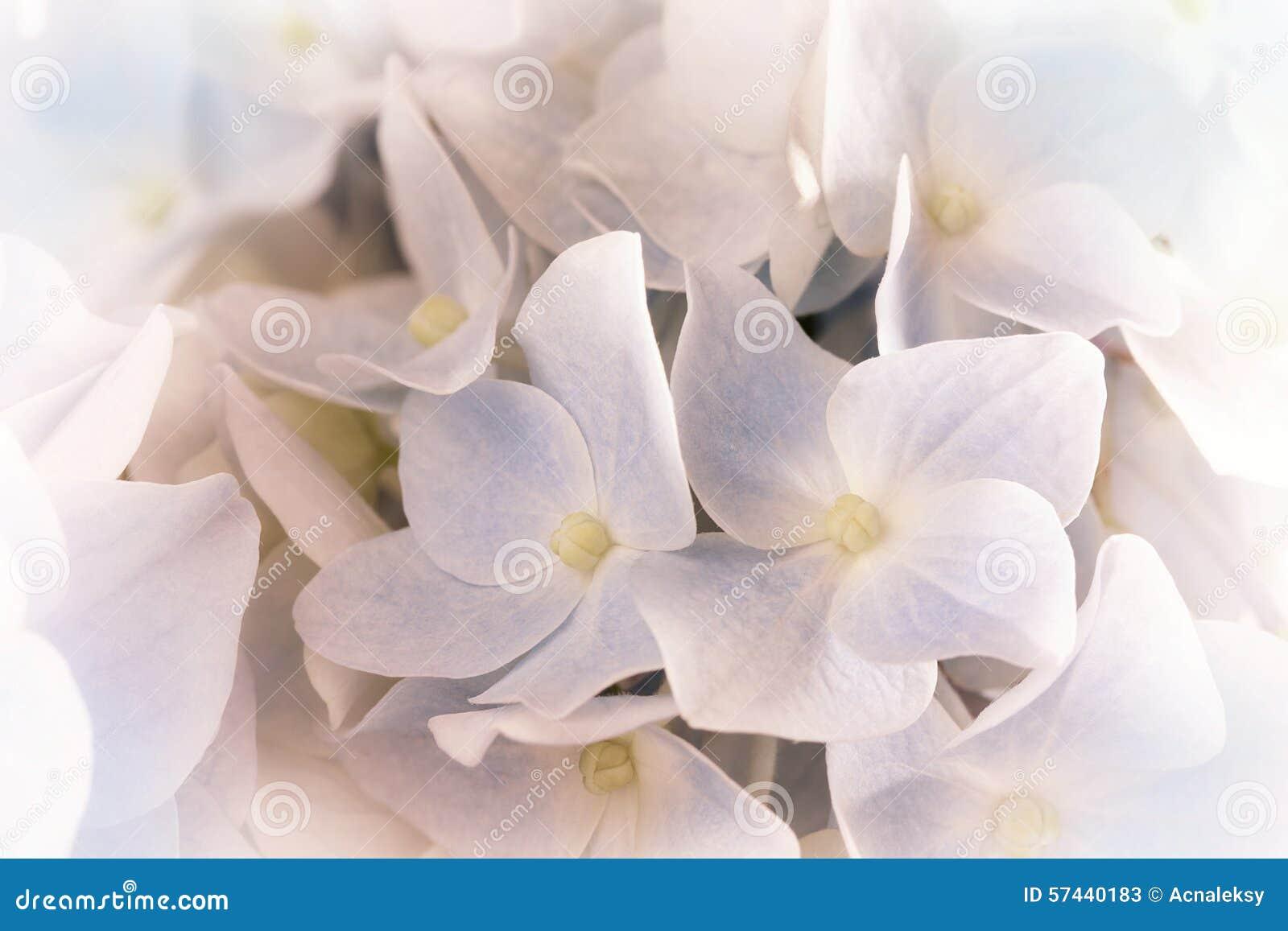 hortensias en color del rosa en colores pastel