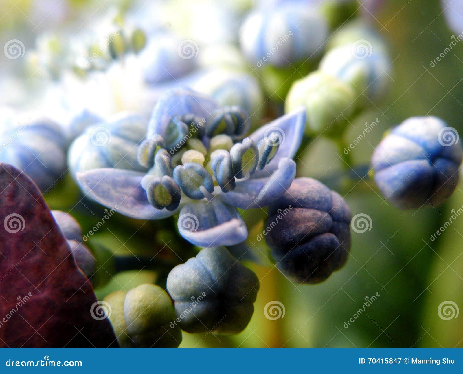 Hortensja kwiatów centrum
