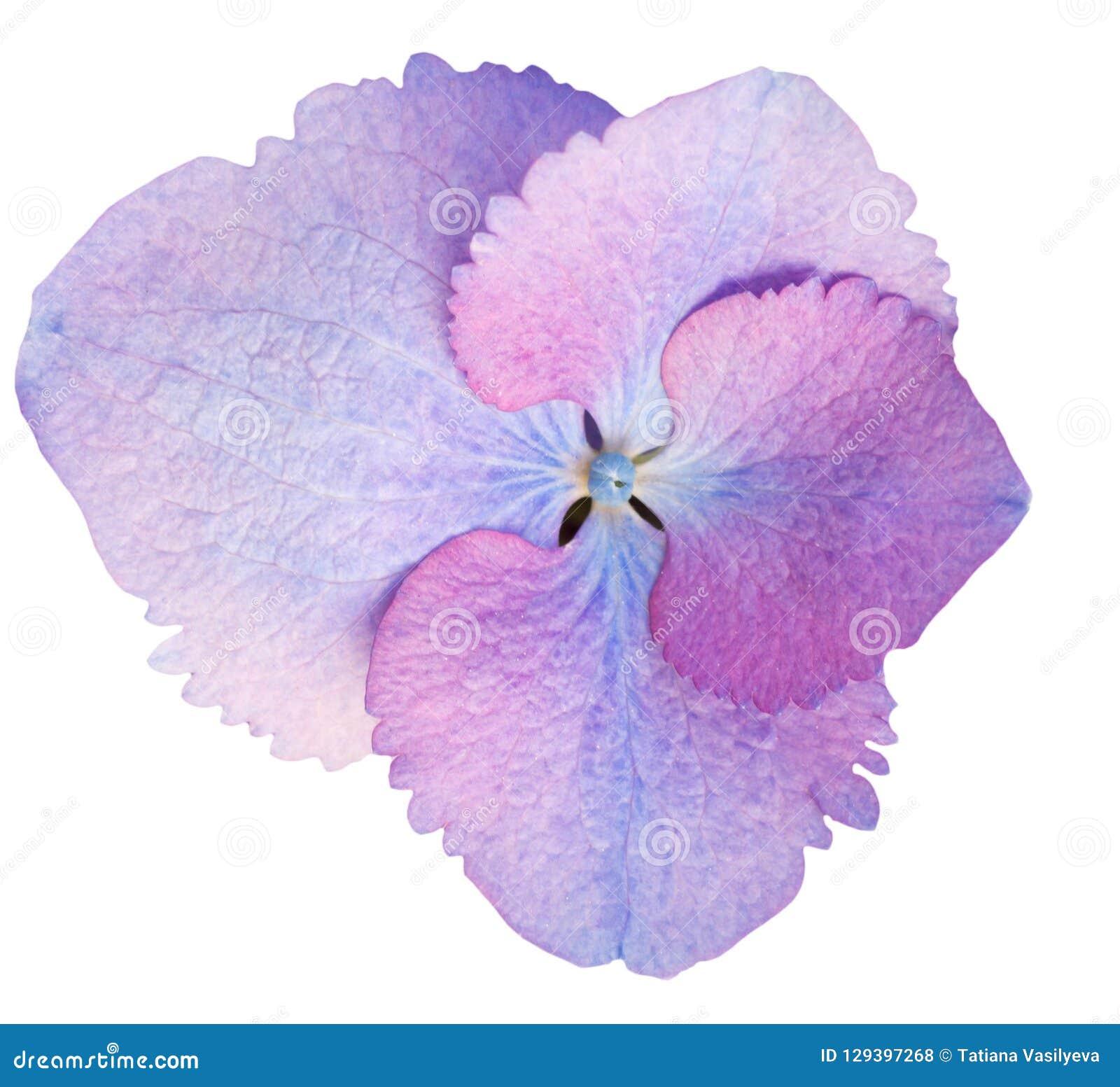 Hortensja kwiat odizolowywający na bielu