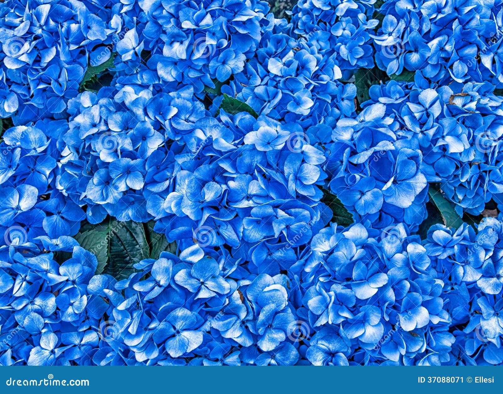 Download Hortensja Kwitnie tło obraz stock. Obraz złożonej z kwiecisty - 37088071