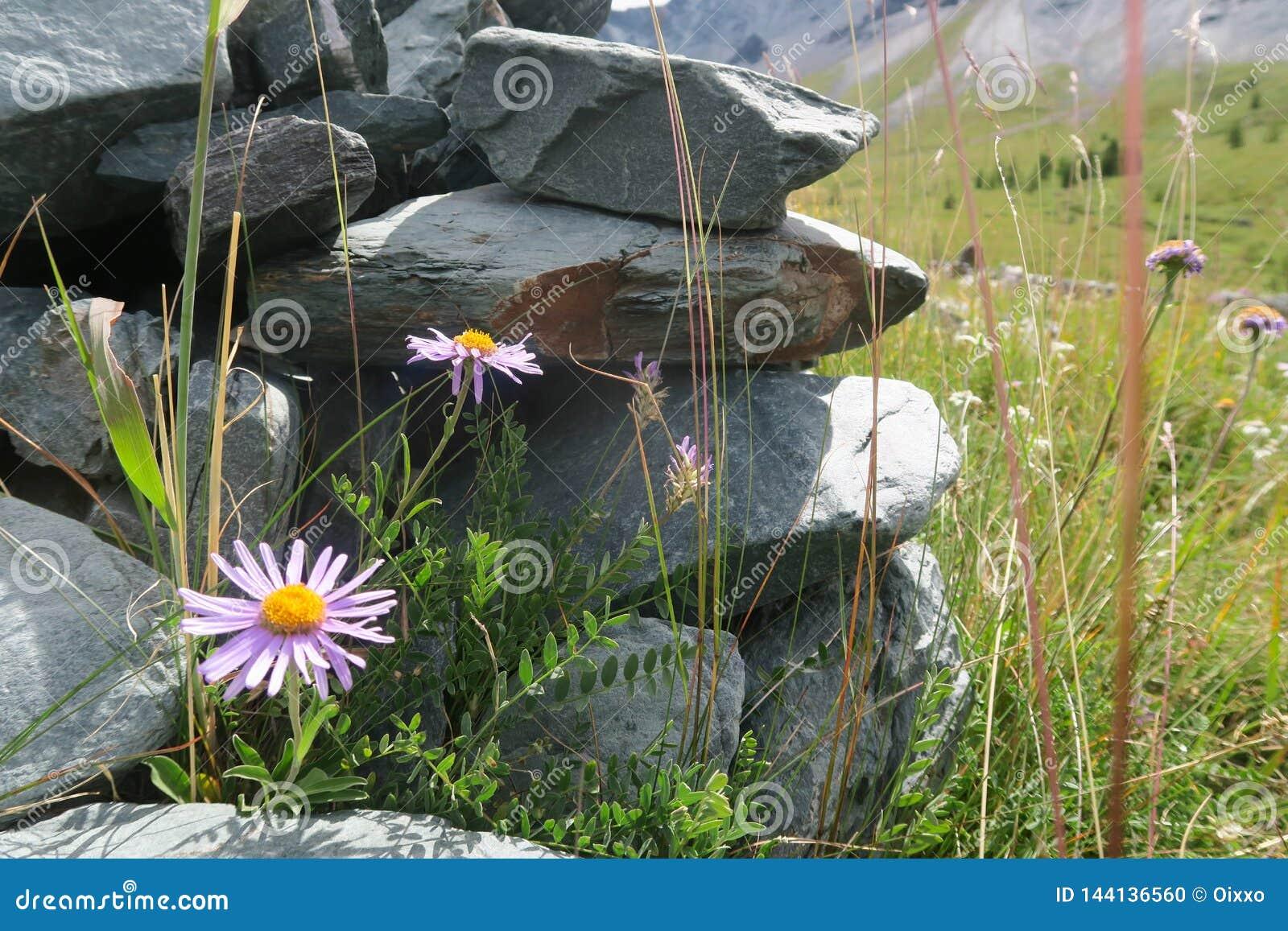 Horticulture de gisement de montagne sur la roche