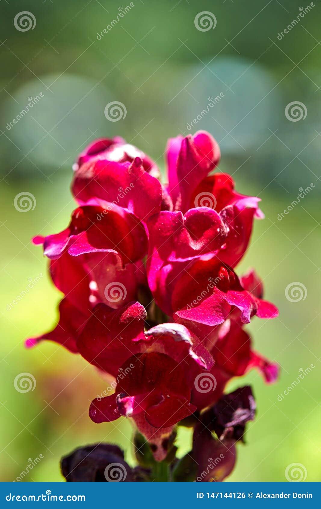 Horticulture rose dans un parterre