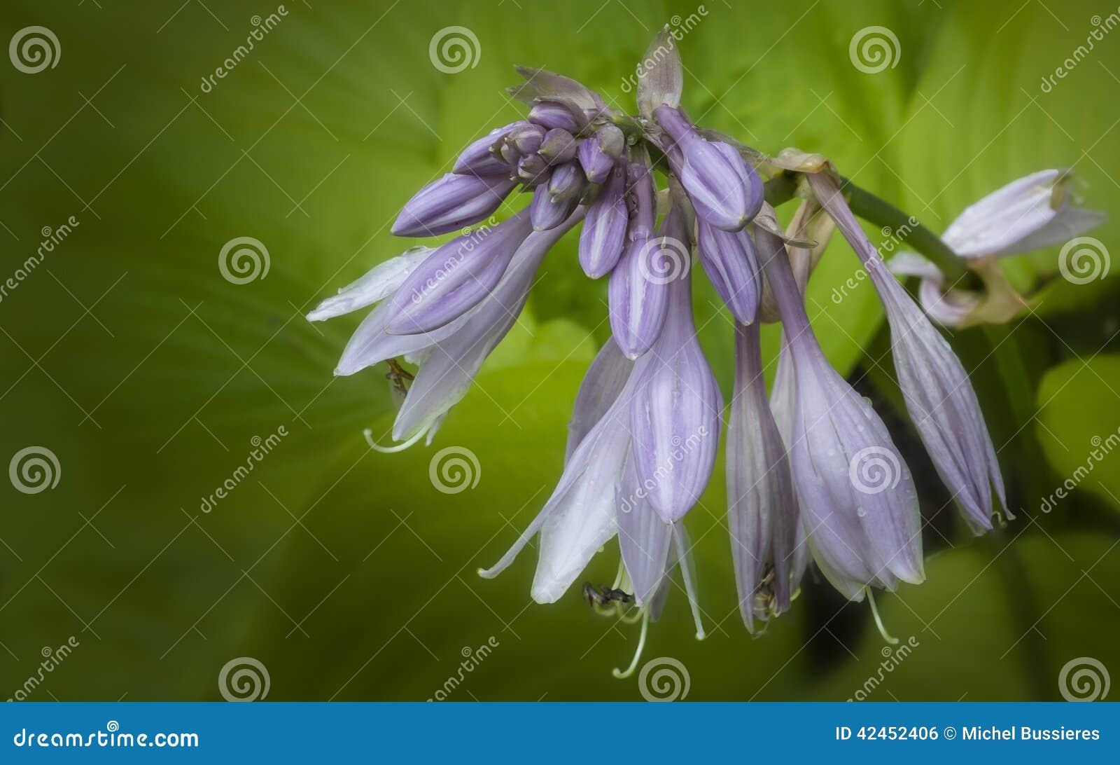 Hosta-Blumen