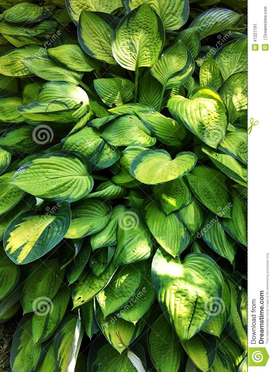 Hosta Stock Image Image Of Environmentally Larger Friendly 41227191