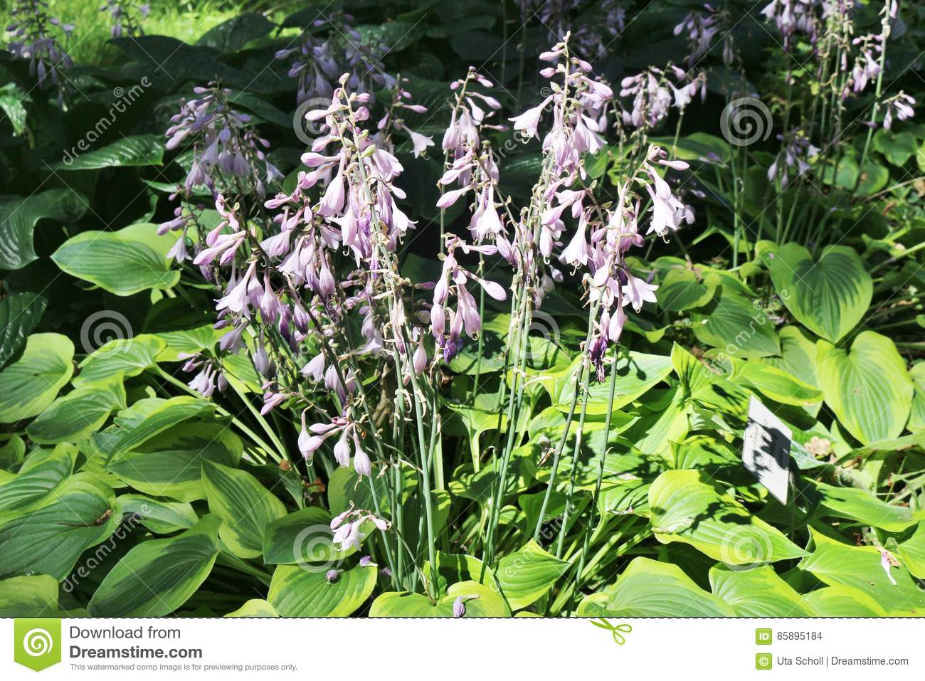Hosta Flowers With Pink Blossoms And Large Green And Yellow Leaves