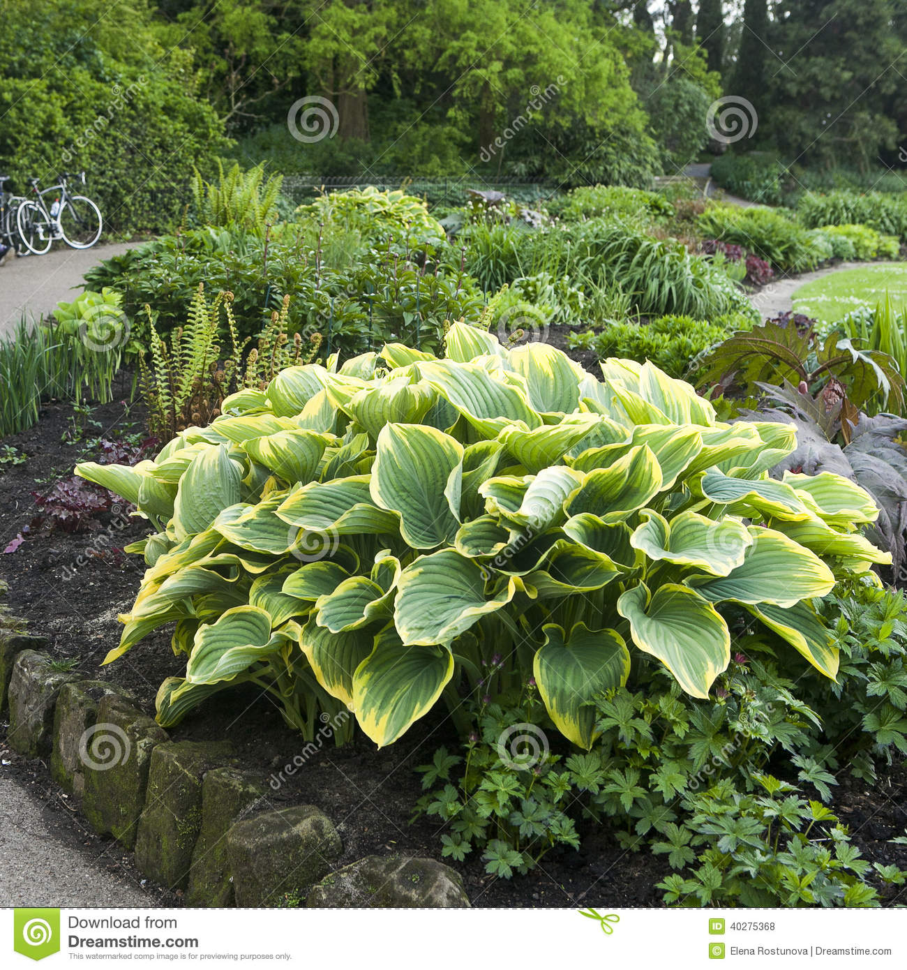 Garden Stock Image Image Of Design: Hosta Or Funkia In Yellow And Green Colors On The