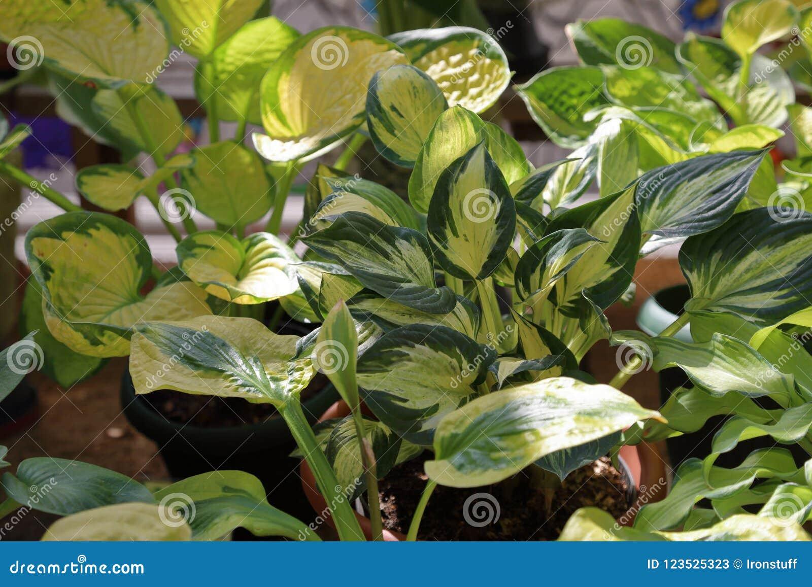 Perennial Plant Hosta Stock Image Image Of Yard Perennial 123525323