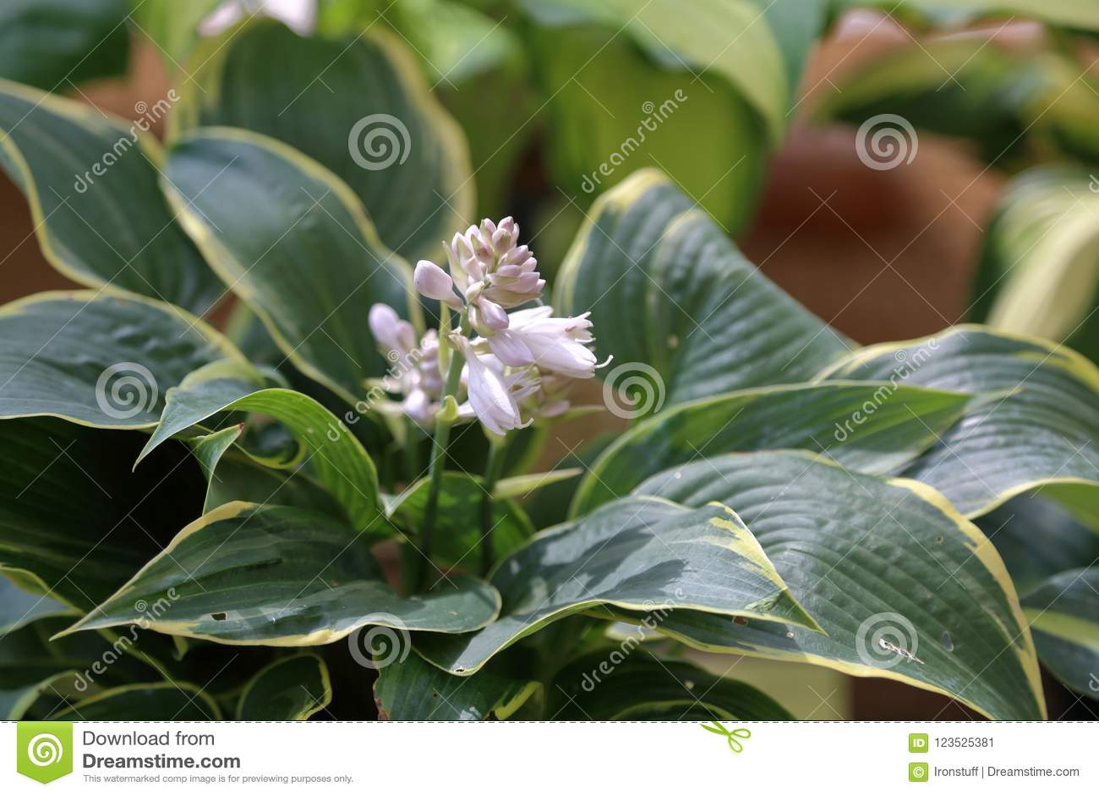 Perennial Plant Hosta Stock Image Image Of Background 123525381