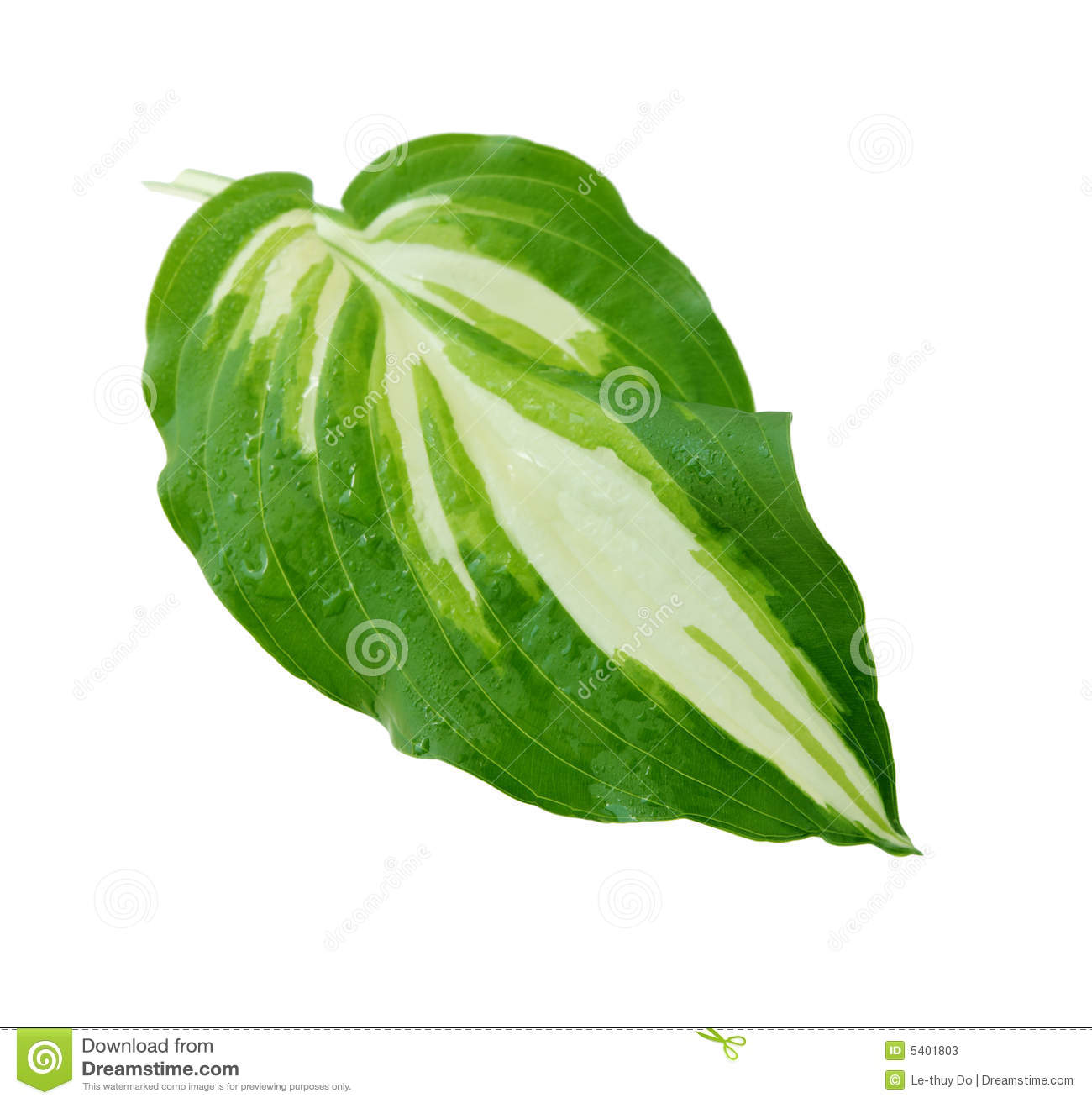 Hosta Leaf Stock Image Image Of Close Single Foliage 5401803