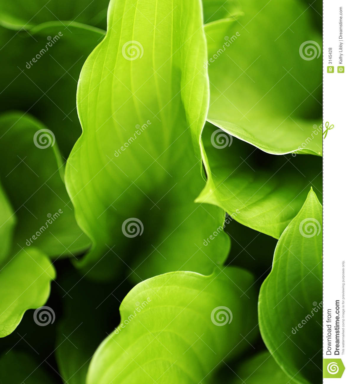 Hosta Leaves Stock Photo Image Of Furl Flower Curled 3145428