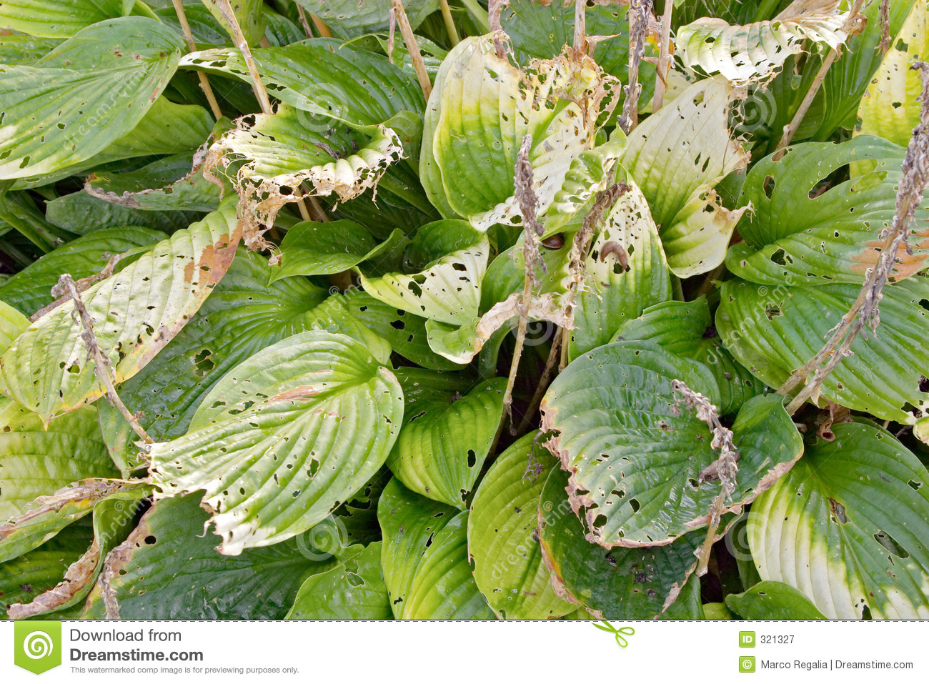 Hosta Plant Leaves With Holes Stock Image Image Of Diseased