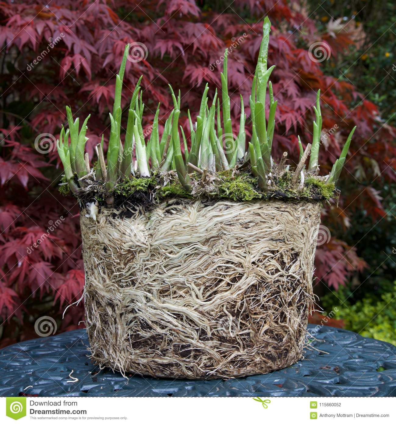 Hosta And Roots Stock Photo Image Of Exposed Potting 115660052