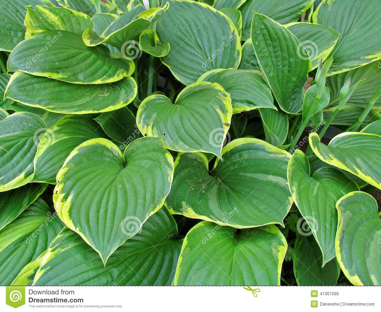 Hosta Stock Photo Image Of Leaf Plant Large Leaves 41367566