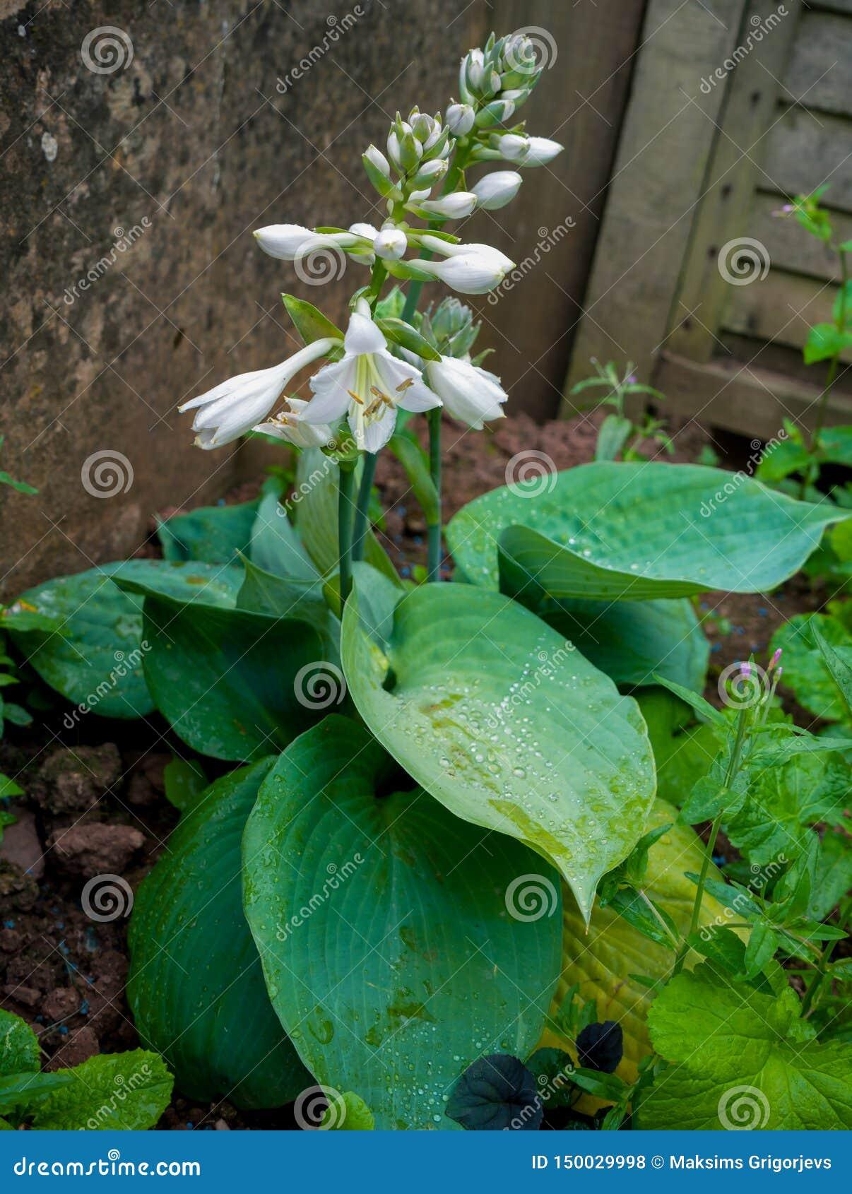 Hostaanlage, die im Hausgarten blüht