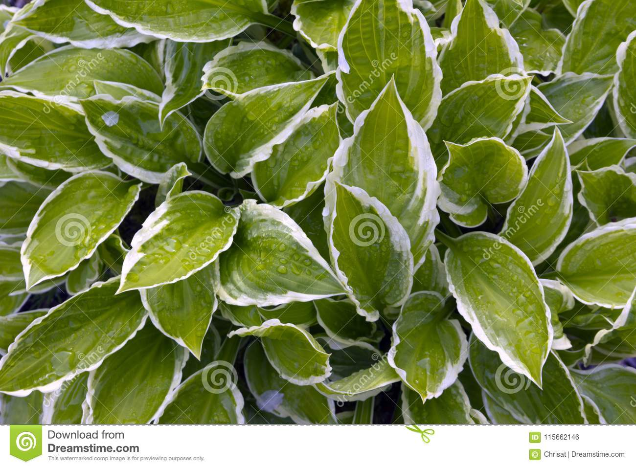 Hostas Stock Photo Image Of Britain Photo Ribs Leaf 115662146