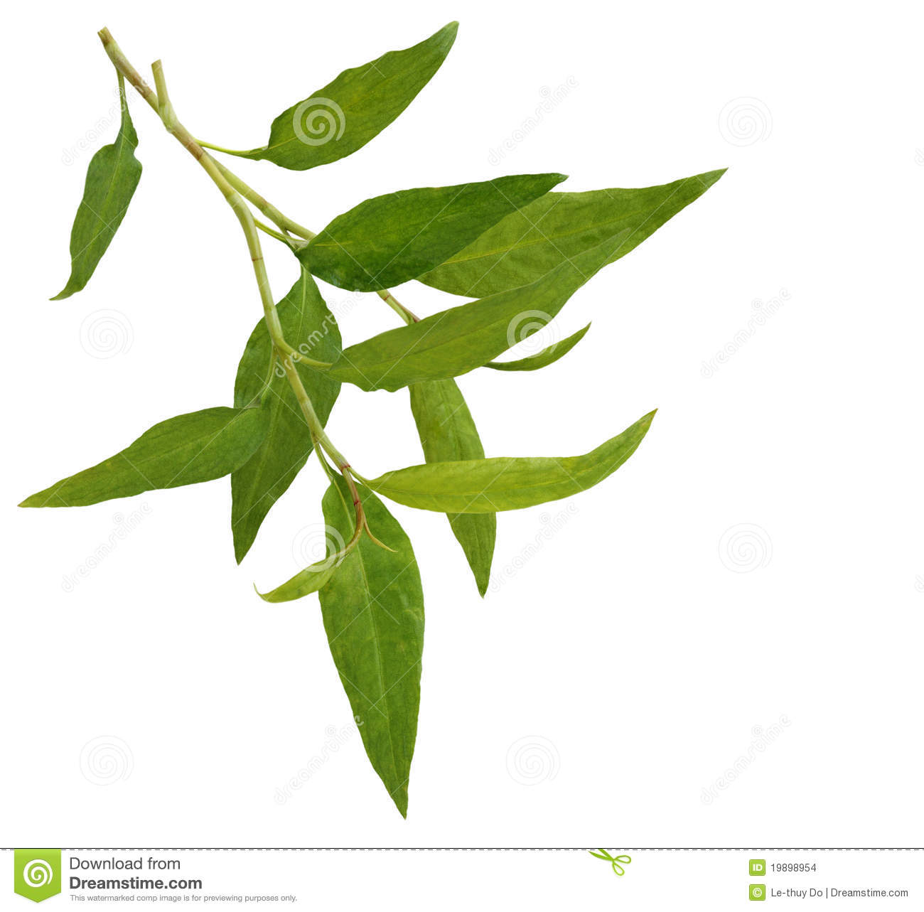 Hot mint, Vietnamese mint isolated on white.