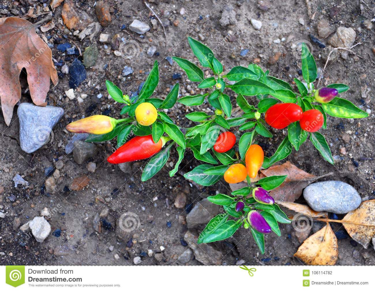 Hot peppers of different varieties of maturity