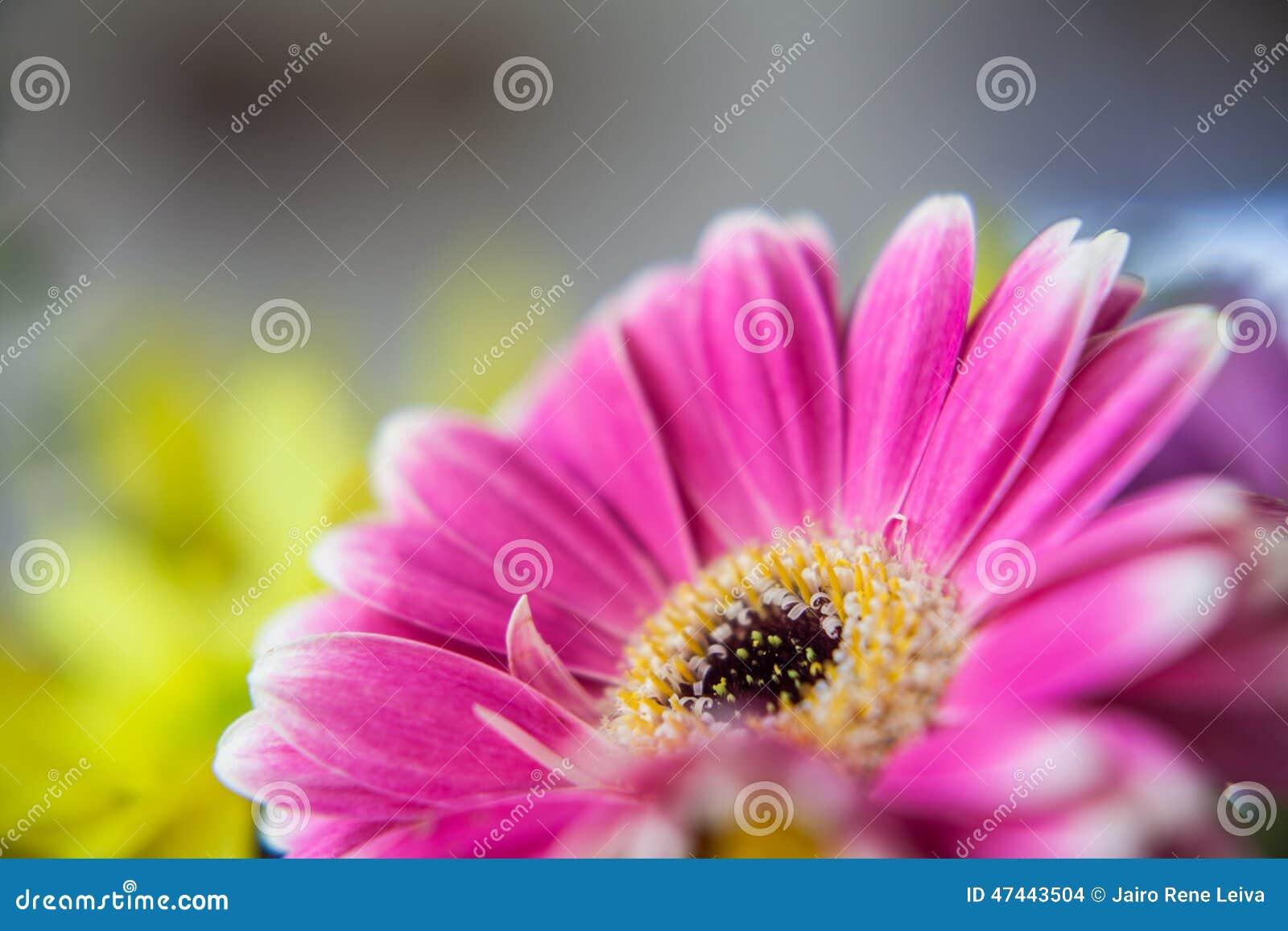 Hot Pink Flower Stock Photo Image Of Closeup Flora 47443504