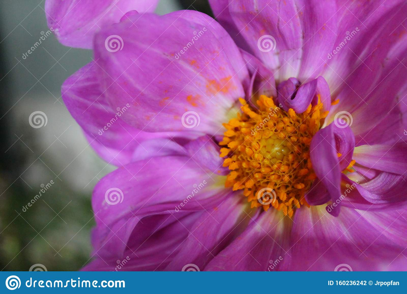 Hot Pink Flower With Orange Center Stock Photo Image Of