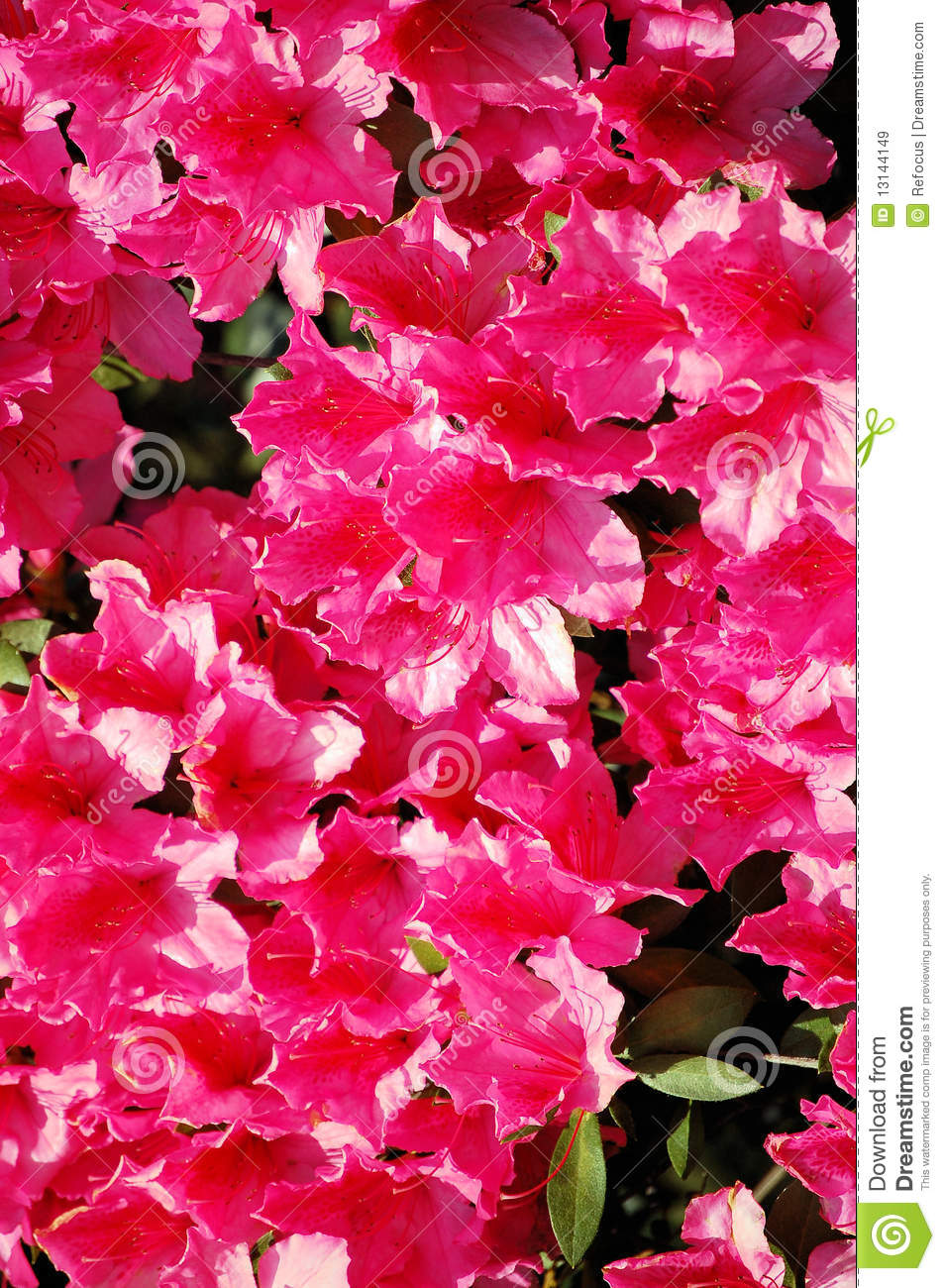 hot pink flowers royalty free stock images  image, Natural flower