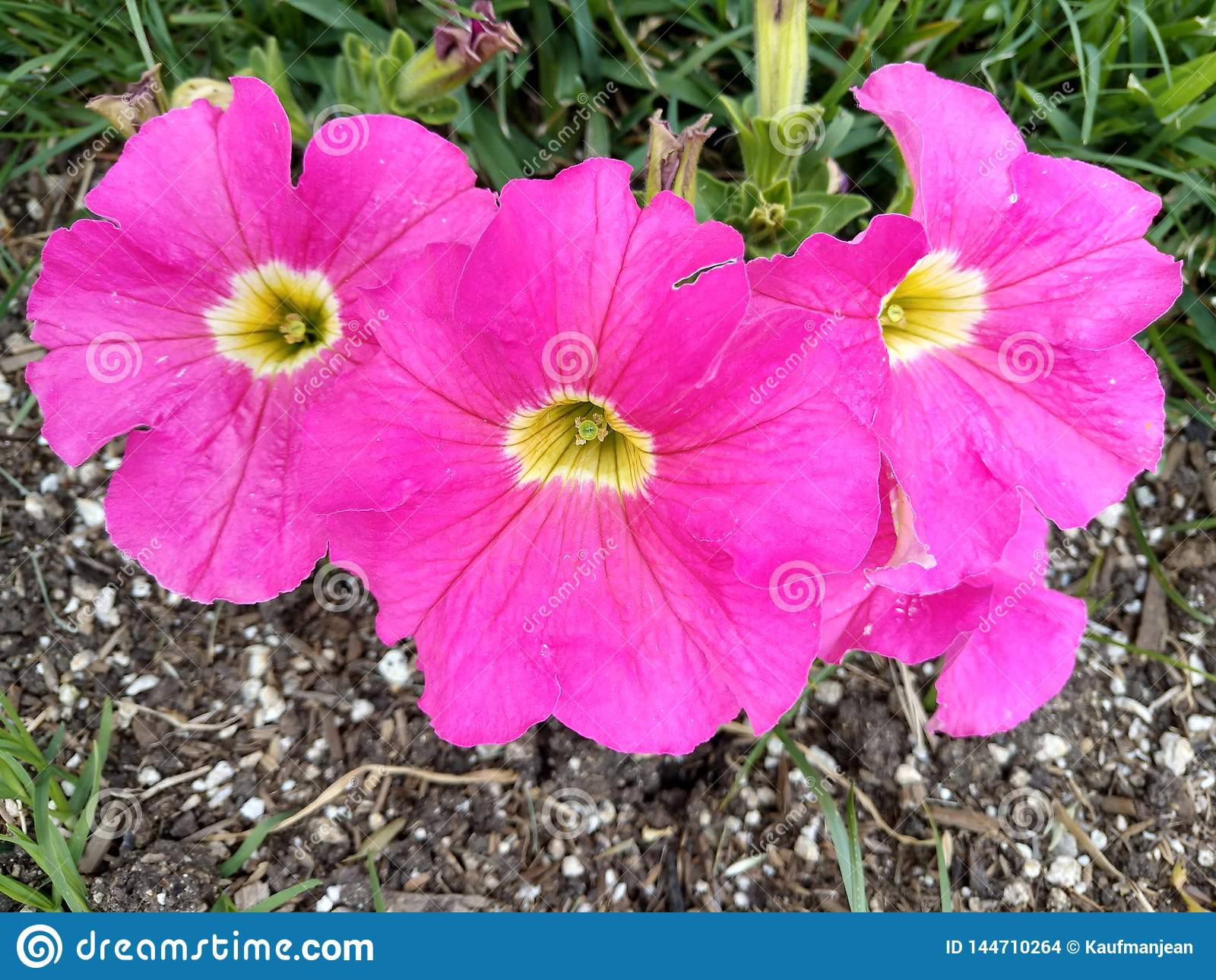 Hot Pink Hollyhocks mallow family flowers cottage garden annual biennial or perennial Alcea plants