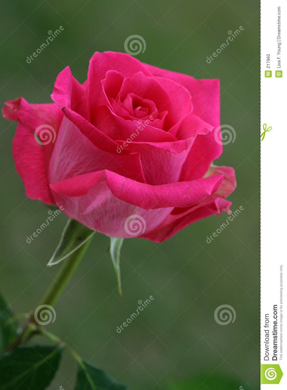 hot pink rose stock photo image of blossom bloom bright