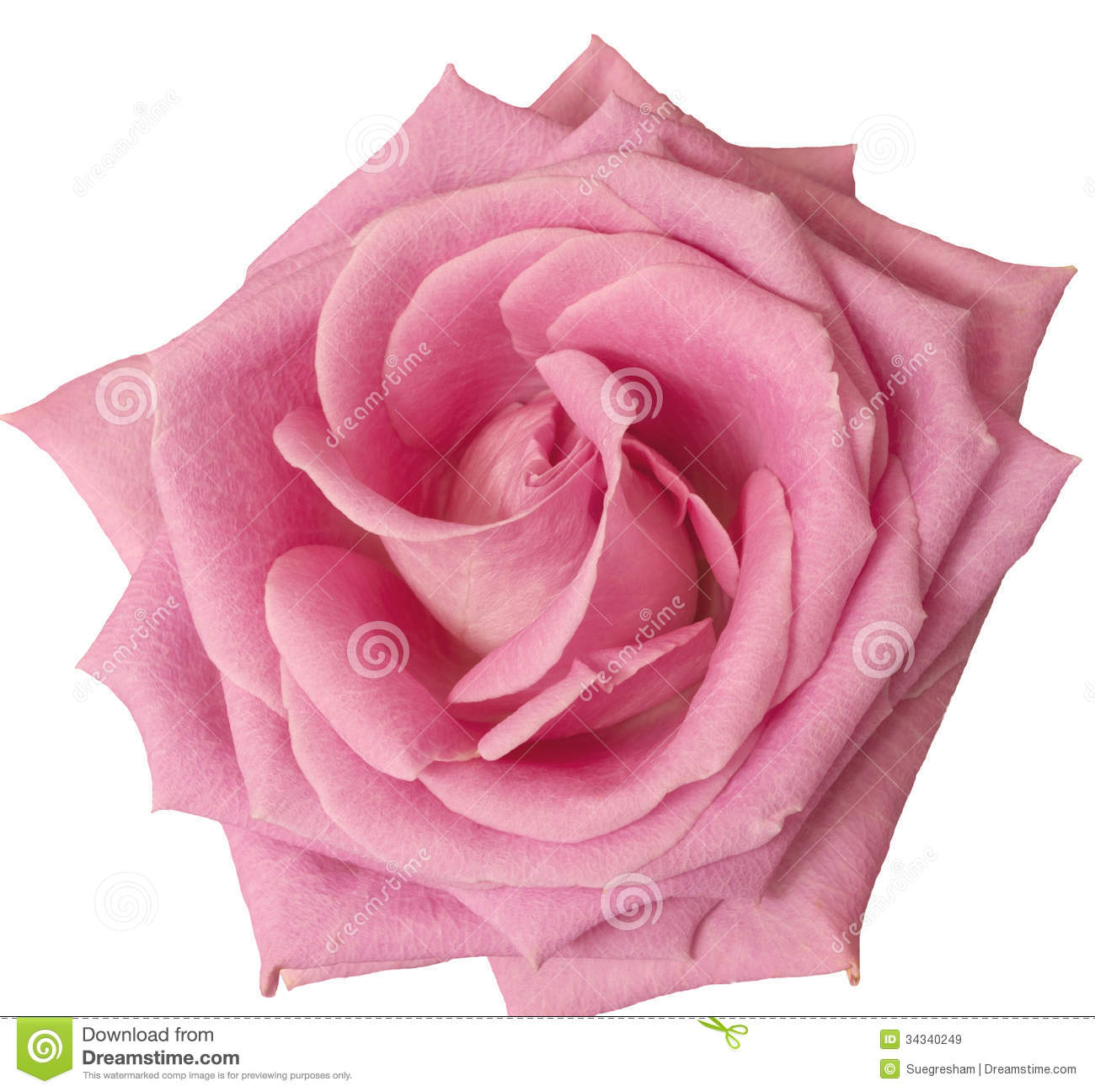 Hot pink rose close up on white stock image image of Colors that go with rose pink