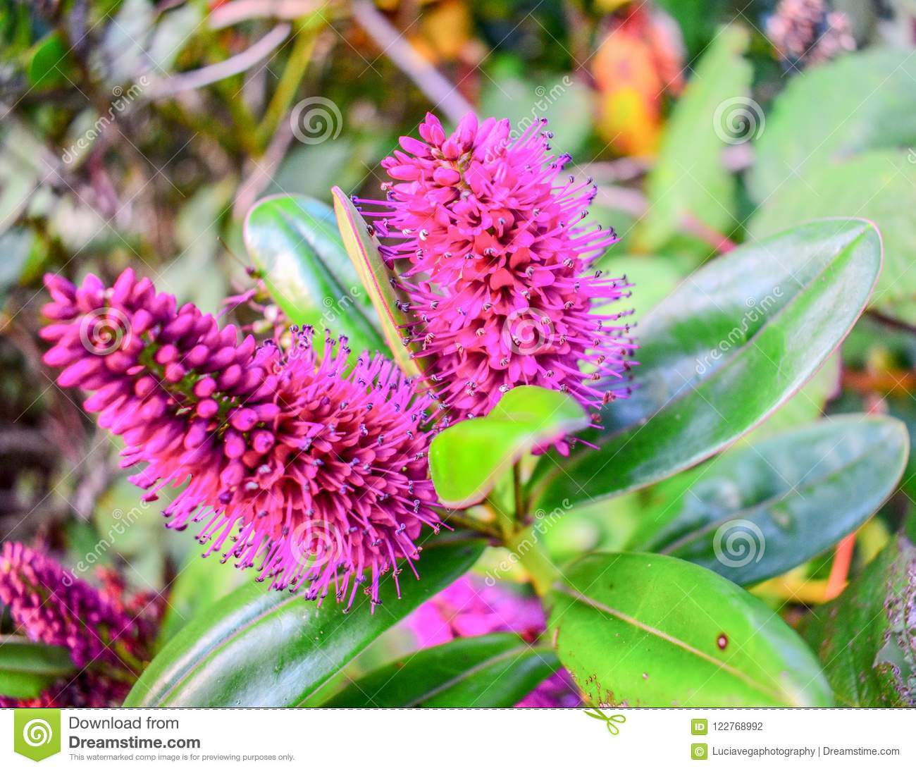Hot Pink Spike Unknown Flowers Stock Photo Image Of Pink Park