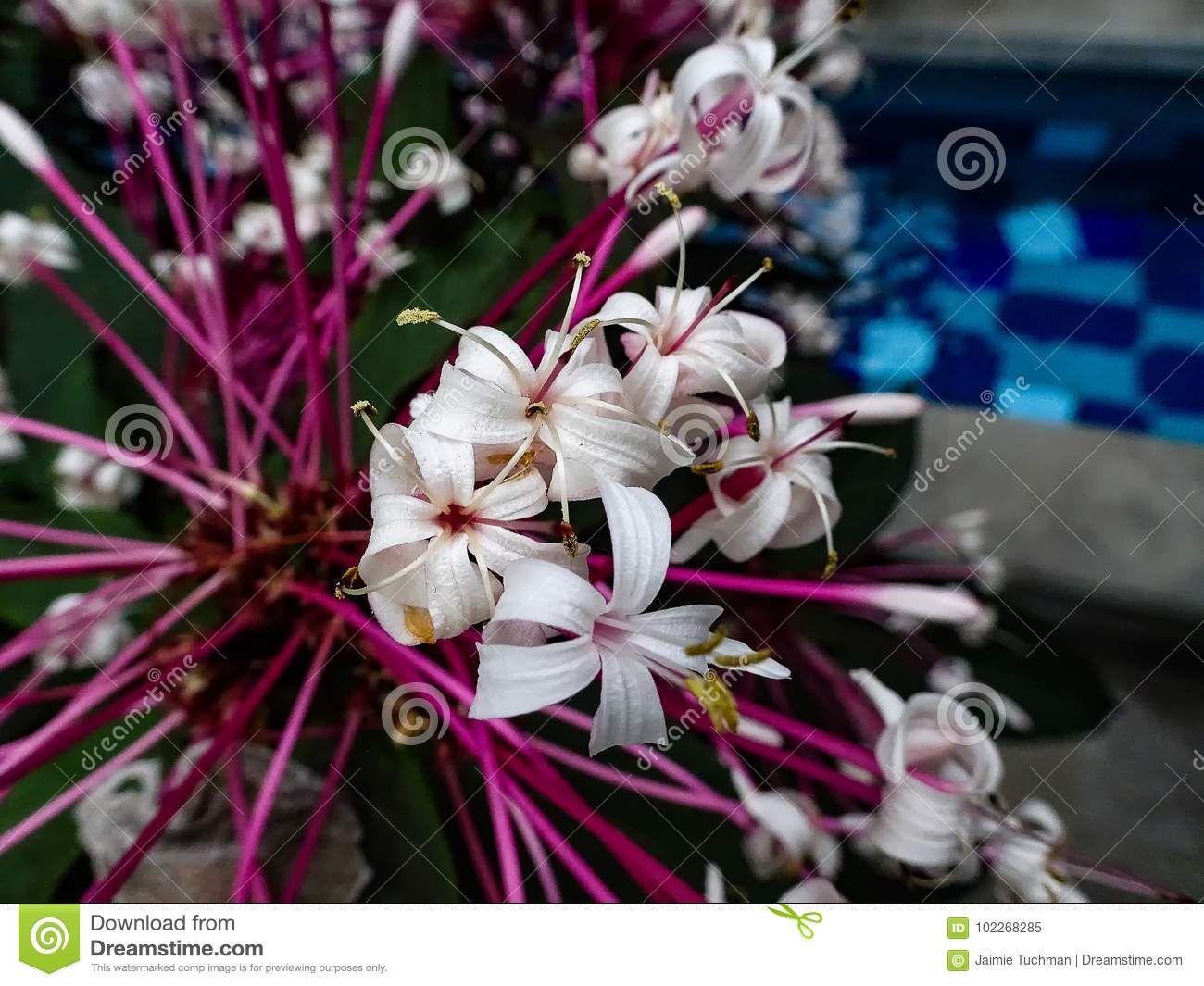 White Flowers With Pink Stems Stock Image Image Of Nature Cluster