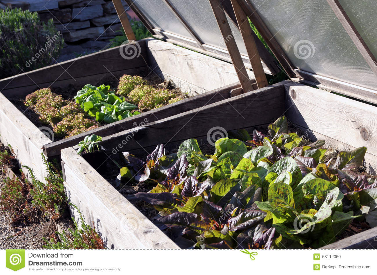 Hotbed With Radicchio And Lettuce In The Vegetable Garden Stock