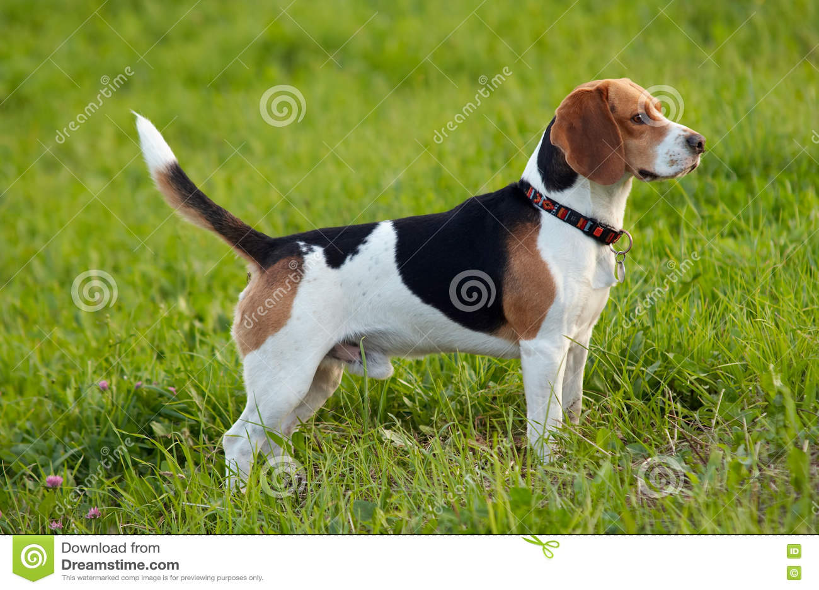 July Hound Dog Breed