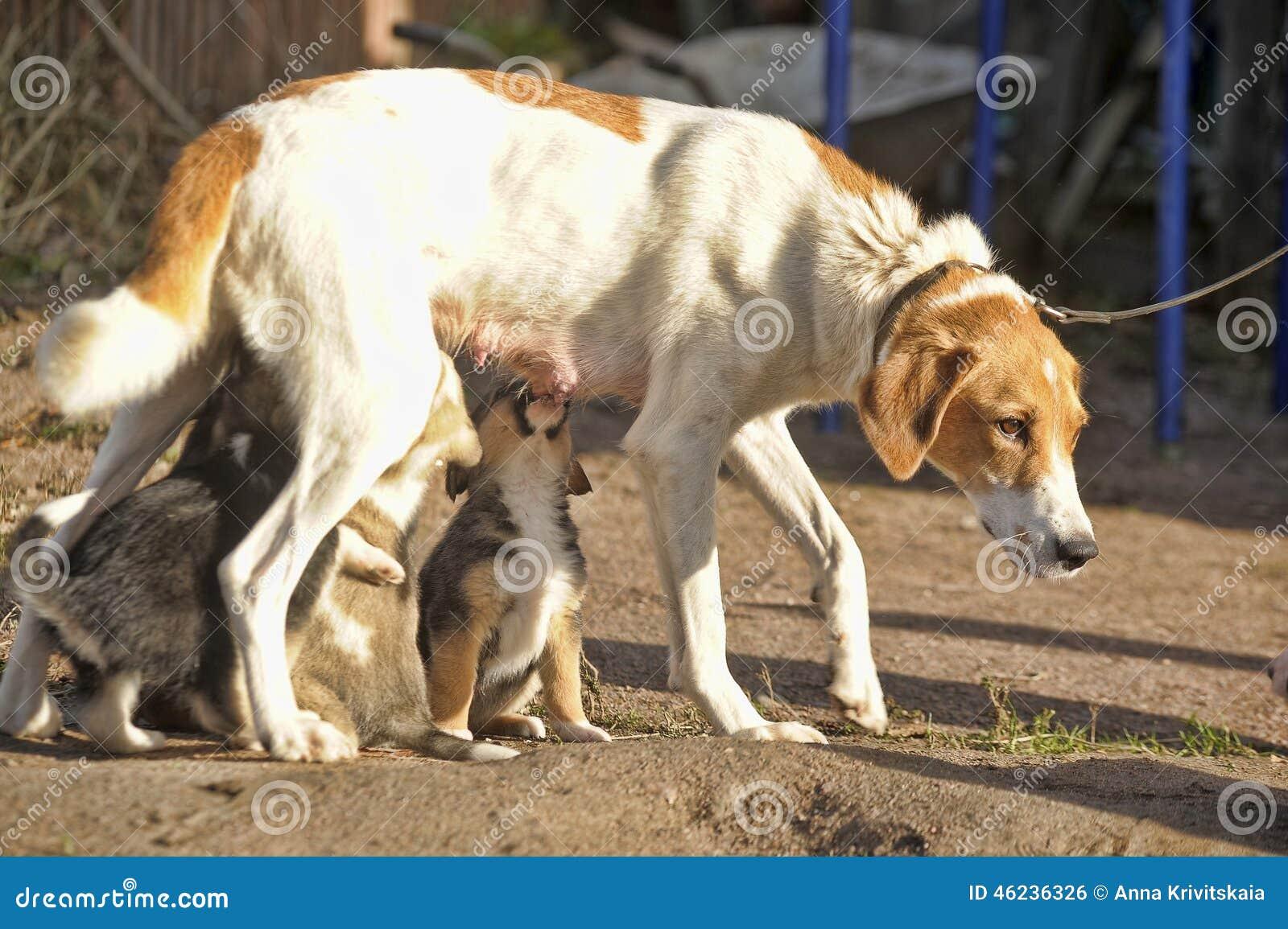 Hound Dog Puppies Feeding Stock Photo Image 46236326