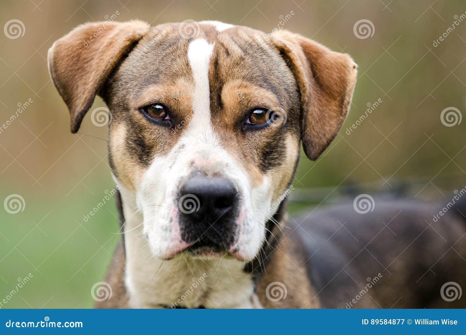 Hound Mixed Breed Dog Adoption Portrait Stock Image Image