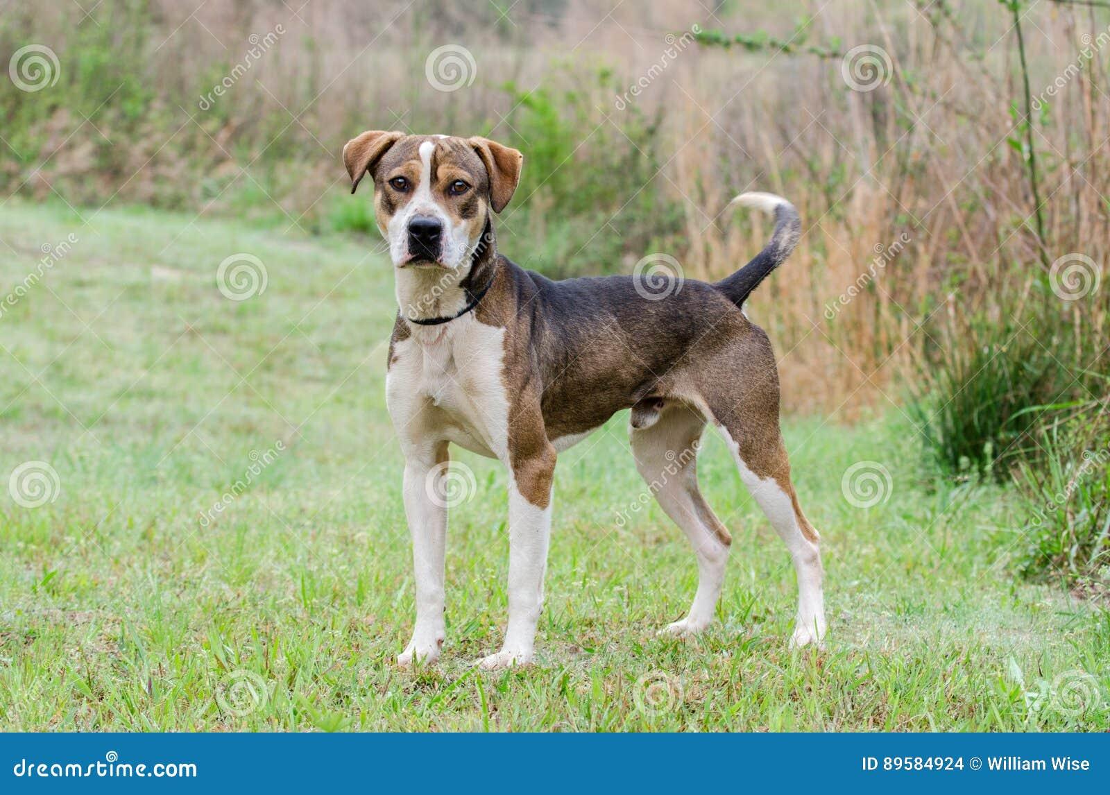 Hound Mixed Breed Dog Adoption Portrait Stock Image