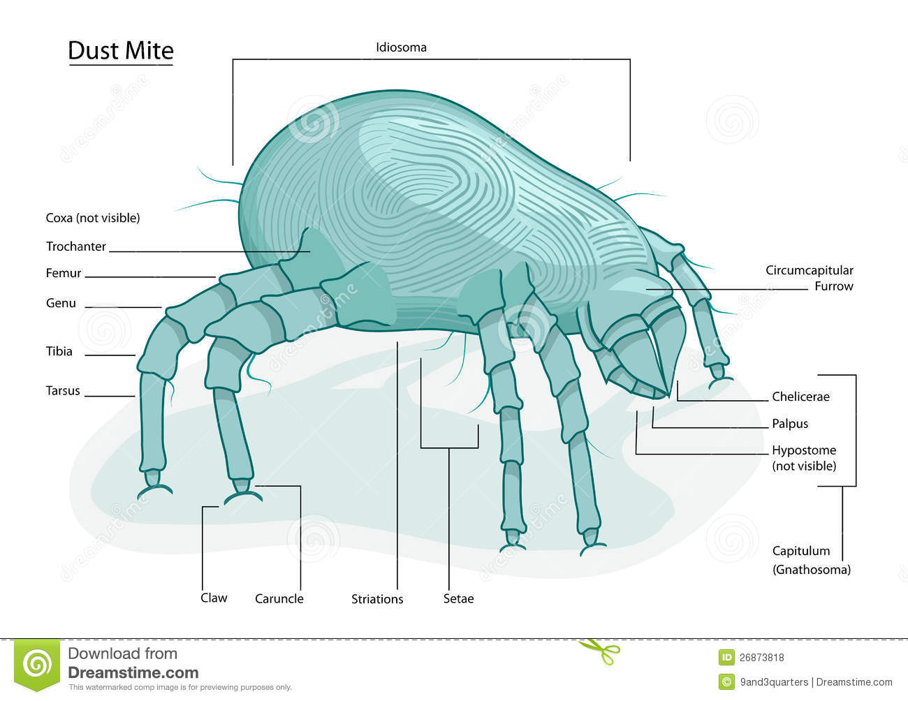 Clearly labeled vector illustration of dust mite (tick) anatomy ...