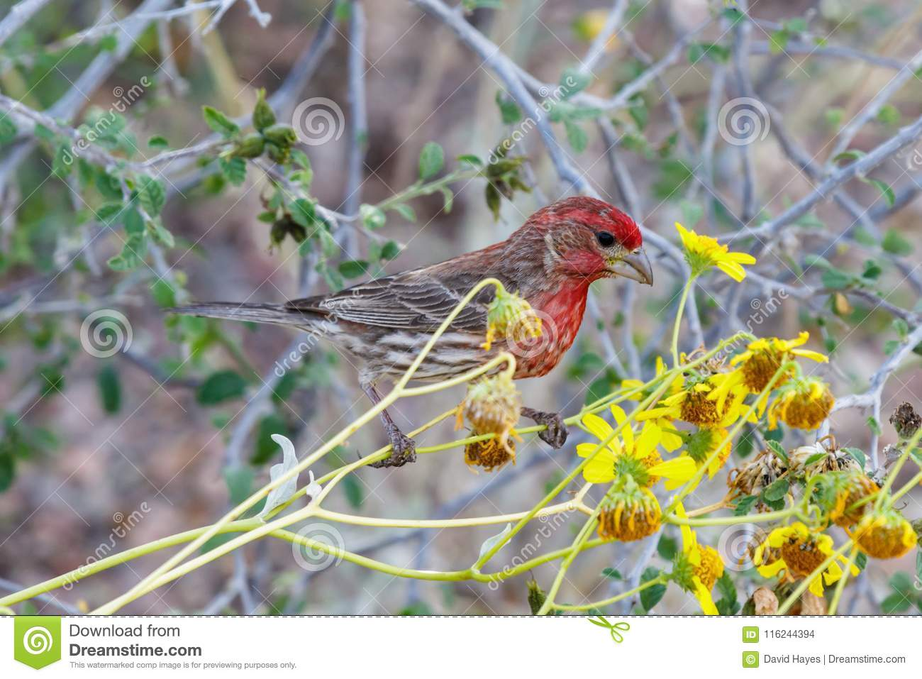 House Finch On Desert Flower In Arizona S Sonoran Desert Stock