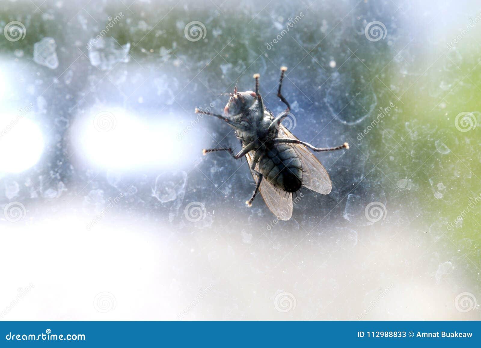 House fly on the windshield dirty, Chrysomya megacephala Fabricius, Musca domestica, fly contagious diseases