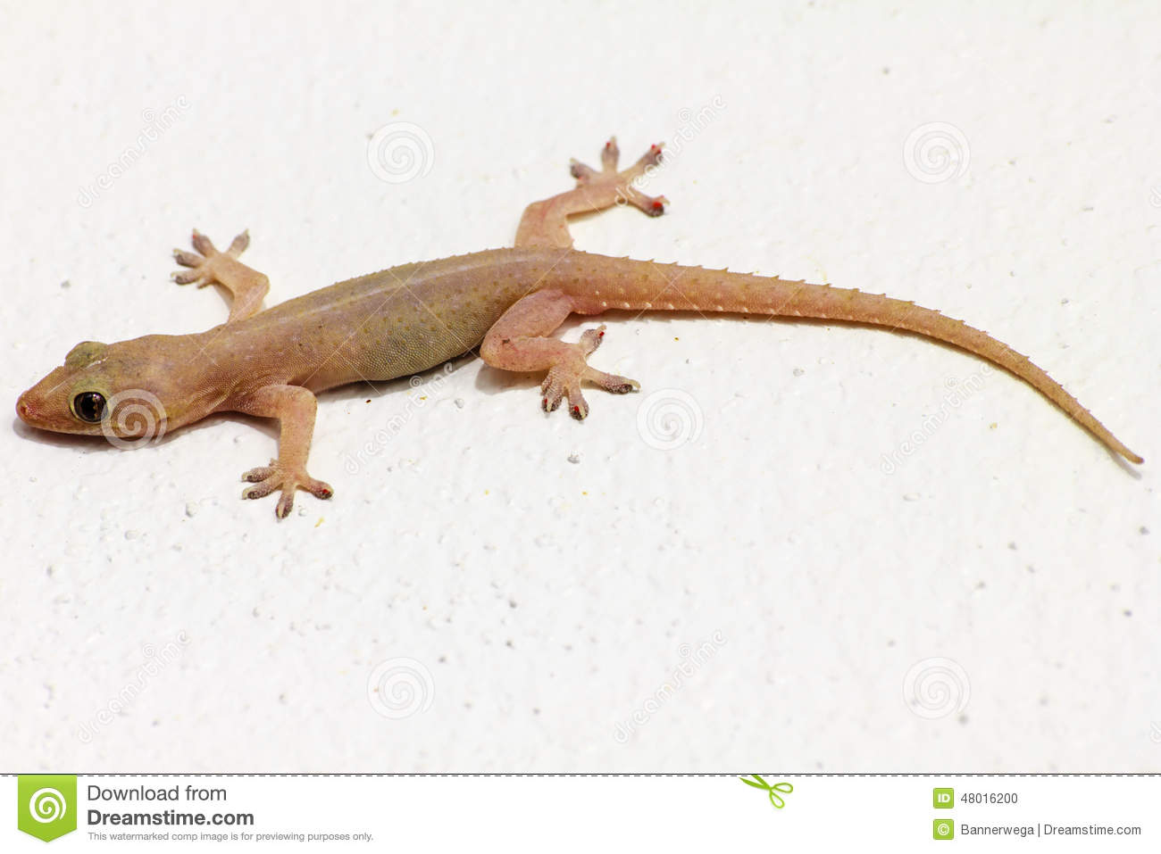 house lizard - 28 images - common house gecko wikipedia ...