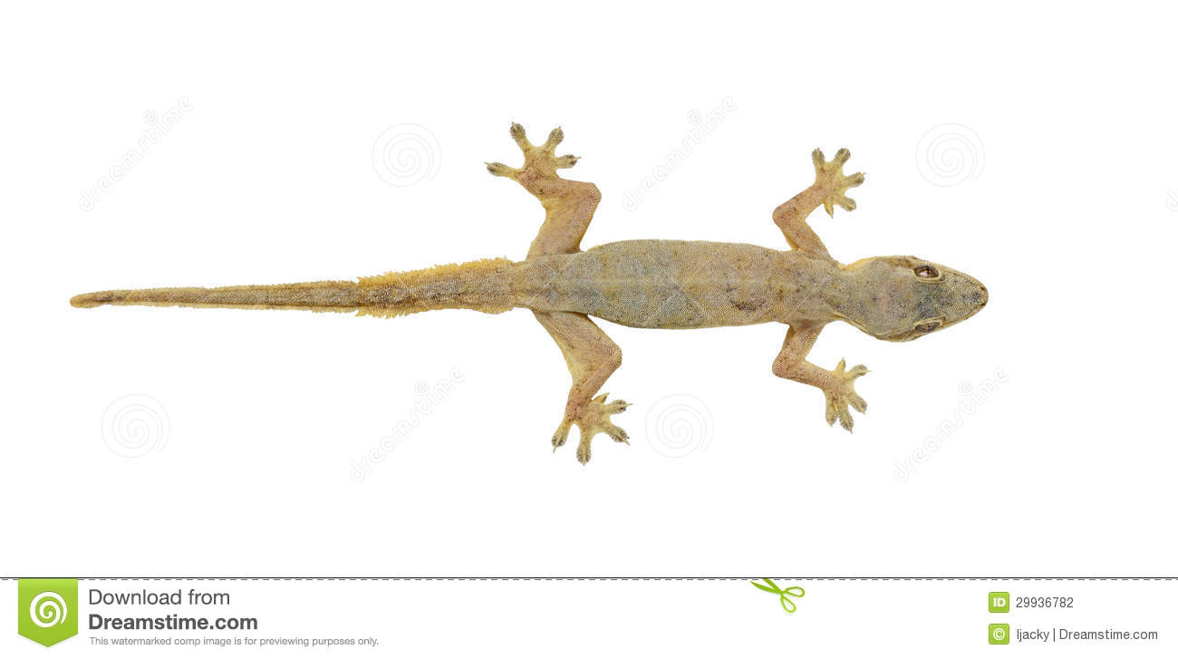 House lizard (Hemidactylus platyurus) isolated on white background.