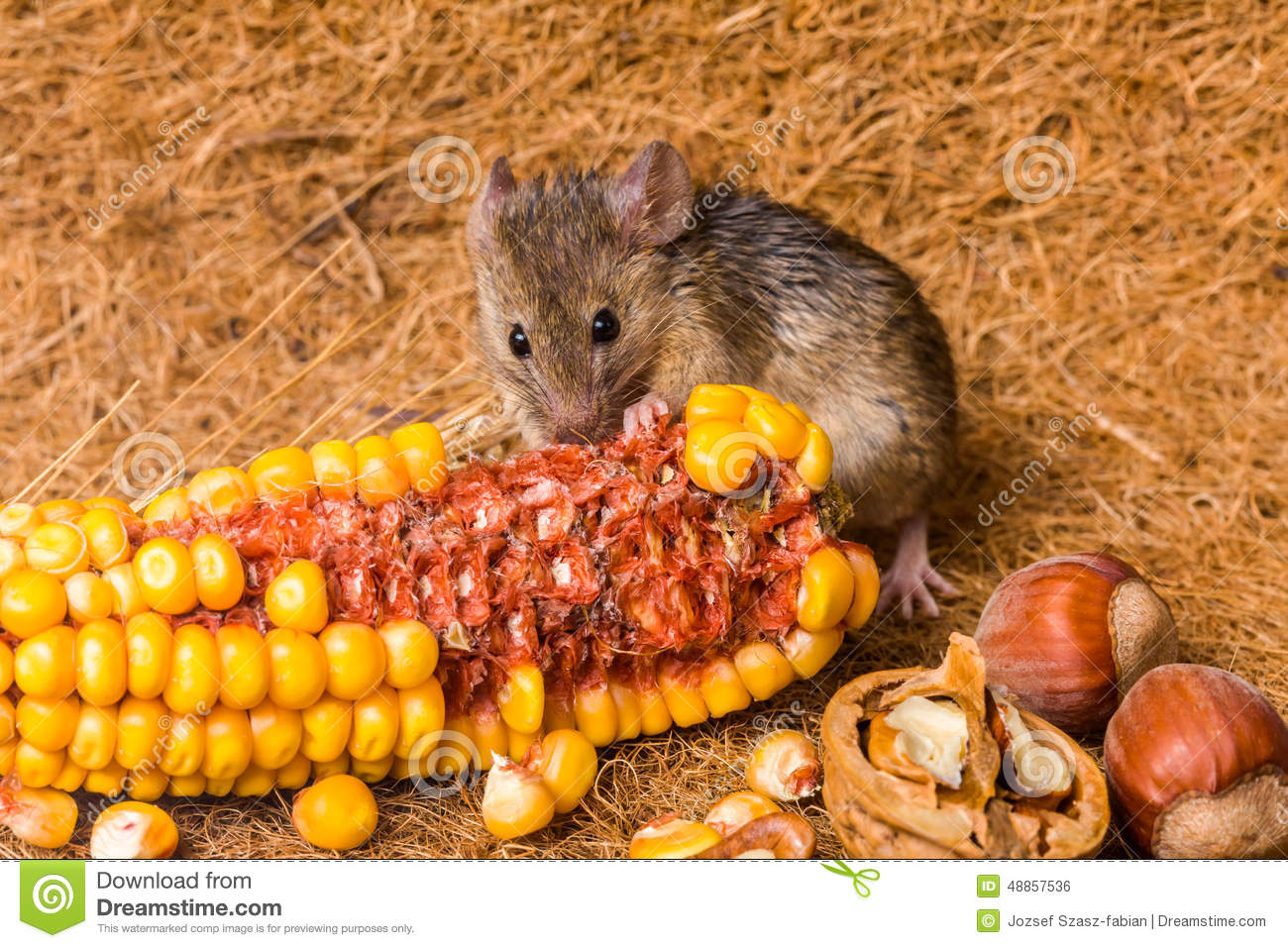 Stock Photo House Mouse Mus Musculus Eating Corn Close View Tiny Seeds Image48857536 on Free Tiny House Plans